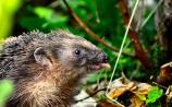 Gerry Moran - The Hedgehogs' Honeymoon!