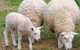 Warning about risk of dogs worrying sheep during lambing season