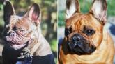 MISSING: Have you seen these French bulldogs reported missing from North Kilkenny?