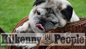 Pugtastic! Summer Castle Park meet up for Kilkenny's Pug Club