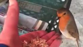 The little Kilkenny robin who comes for breakfast every day