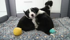 Happy ever after - three puppies abandoned like rubbish are now thriving in ISPCA care!