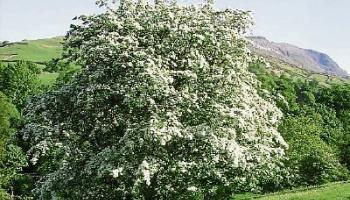 Then & Now: The magical powers of the hawthorn