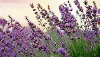 Gardening with Jo: Luscious lavender