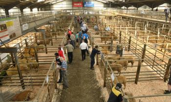 Gallery: Sheep Ireland Elite Ram Sale at Kilkenny Mart