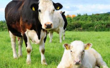 Trade remains firm - increased price for cull cows and heifers