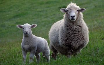A bit of good news for sheep farmers amid the gloom